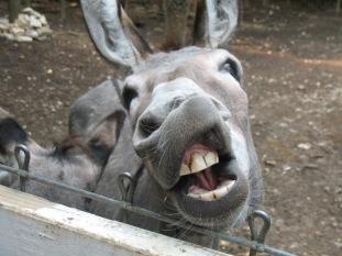 donkeyteeth